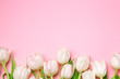 Beautiful pink and white tulips on pink background . Spring flowers. Postcard on March 8