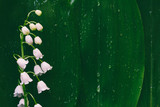 flower Lily of the valley on a background of green leaves in drops of water with space for text
