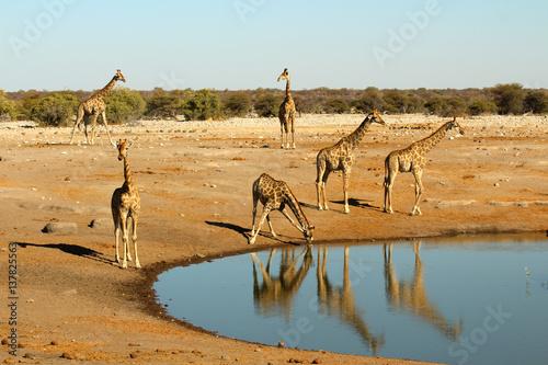Poster 6 Giraffen am Wasserloch in Etosha