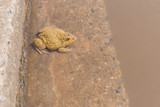 gold toad in water