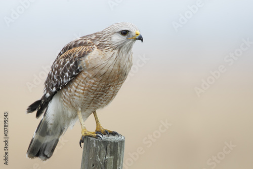 Poster Red-shouldered Hawk (Buteo lineatus) standing on fence post, Florida, USA