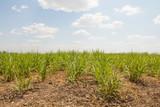 Sugarcane field.