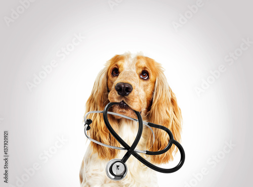 Fototapeta portrait vet dog spaniel on a gray background