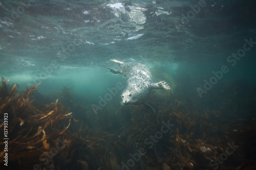 Phoca largha (Larga Seal, Spotted Seal) underwater pictures Poster