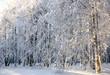 Winter snowy trees in sunlight