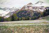 Chiareggio - Valmalenco (IT) - Crocchi primaverili