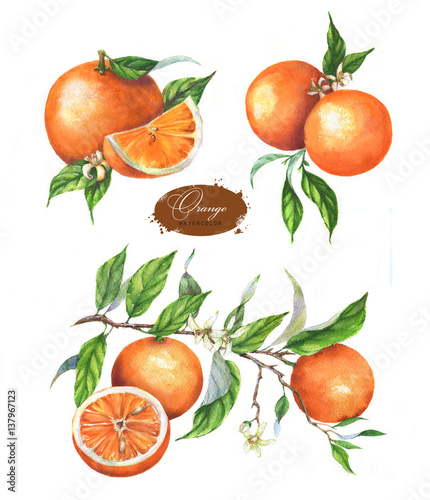Hand drawn watercolor illustration set of oranges on branch, leaves, blossom and slice on the white background