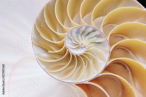 nautilus shell section background symmetry Fibonacci half cross section spiral g Poster