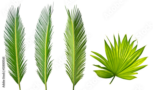 young spring palm leaves on a white background