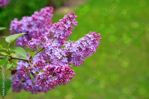 Lilac flowers isolated on green. Plakat