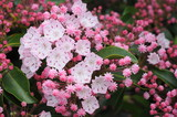 Mountain Laurel, Blue Ridge Parkway