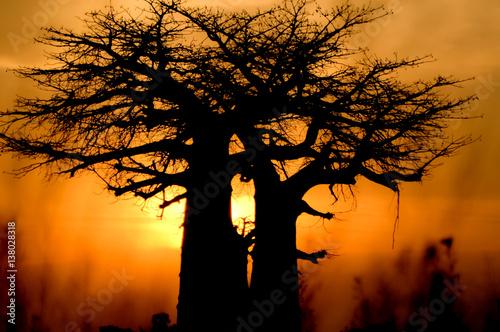 Foto op Aluminium Baobab baobab tree sunset