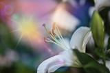 Lily flower closeup macro with soft focus and abstract blur background