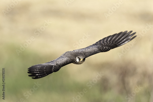 Poster Armur Falcon female flying in nature