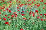 poppies flower field spring season