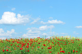 red poppies flowers and blue sky with clouds landscape
