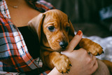 8 weeks old smooth hair brown dachshund puppy resting safely in the hands of its female owner that wears a colourful plaid shirt