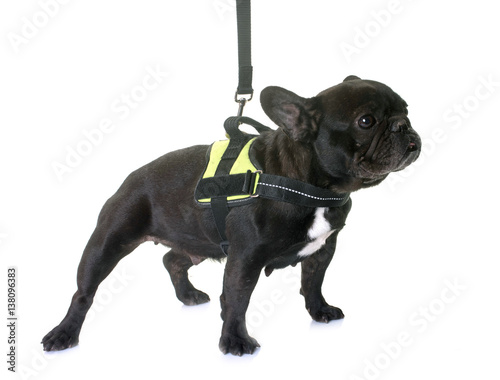 Plexiglas Franse bulldog french bulldog and harness