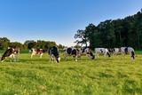Abendlicher Weidegang der Kühe nach dem Melken