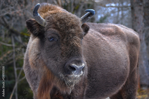 Wild European bison in the forest of the Carpathians