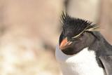 Rockhopper Penguin, Puerto Deseado, Isla Pingüino, Santa Cruz, Patagonia Argentina.