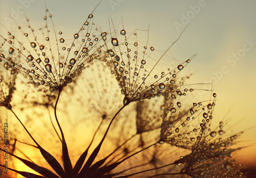 Zdjęcia na płótnie, fototapety na wymiar, obrazy na ścianę : Dew drops on a dandelion seeds at sunrise close up.