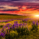 wonderful nature landscape. majestic sunset with clouds gloving in sunkight. over the blossoming lupine flowers in the meadow. picturesque amazing view.