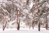 winter pine forest, the snow on the trees