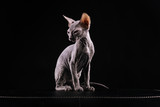portrait of a cat breed Sphynx on a black background