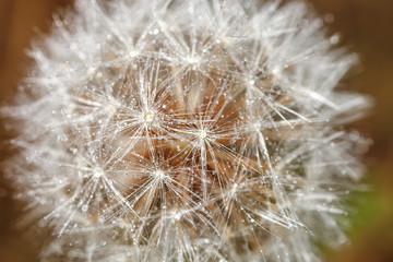 deflorate dandelion close-up
