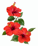 Fototapety red hibiscus flowers and buds