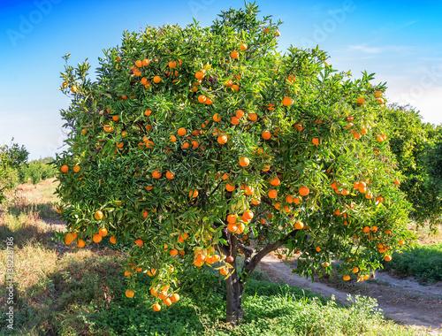 bujne drzewo pomarańczowe
