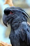 Black cockatoo.