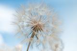 Pusteblumen vor hellblauem Himmel, gute Wünsche, Symbolbild, startklar, Träumerei, Visionen, Fortpflanzung, Expansion, Multiplikatoren, Grußkarte