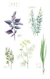 Spices (rosemary, basil, thyme, dill, green onion). Hand-drawn watercolor botanical illustration. - 138282757