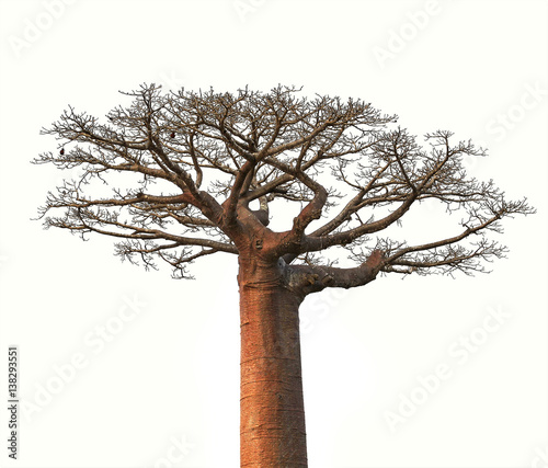Foto Spatwand Baobab Isolated Boaobab tree from Madagascar finance business concept