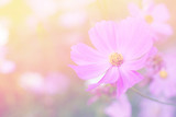 cosmos flowers nature vintage tone background and wallpaper