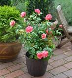 Rose im Kübel - 138305599