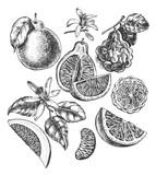 Ink hand drawn set of different kinds of citrus fruits. Food elements collection for design, Vector illustration. - 138346579