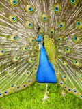 Peacock, Portugal, Madeira, Funchal