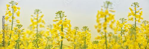 Fototapeta Flowering Rapeseed/Canola Field