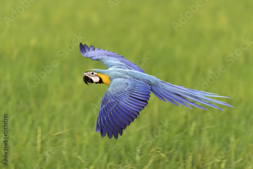 beautiful macaw flying on blurred background