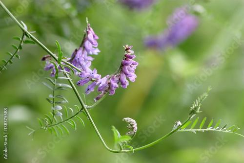 Pflanze Vogel Wicke horizontal. Gemüse Hintergrund. Vicia cracca