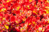 Bright red terry tulips. Background