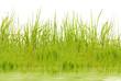 herbes, flore aquatique, fond blanc
