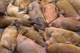 Life Atlantic walruses at haul out sites is (at most) of sleep and small conflicts with neighbors