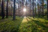 Sunrise in pine forest