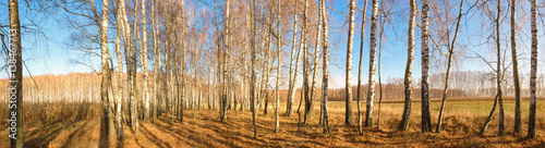 Plexiglas Berkenbos white birch grove on blue sky in early spring