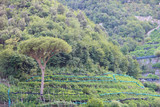 Plantation crops of citrus and olive trees on hillside terraces. Italy.