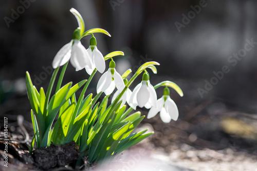 Fototapeta Spring snowdrop flowers blooming in sunny day